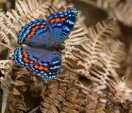 Farfalla nel Uklahamba Drakensberg Immagine Stock