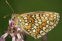 Farfalla nel vento Fotografia Stock