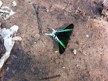 Farfalla nell'Amazzonia del Perù Fotografia Stock Libera da Diritti