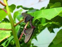 Farfalla nell'amore Fotografia Stock