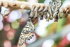 Farfalla neonata con le crisalidi Fotografia Stock