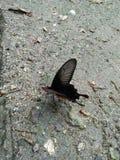 Farfalla nera immagini stock