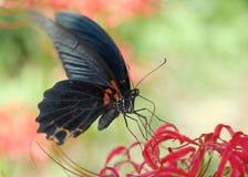 Farfalla nera Fotografia Stock Libera da Diritti