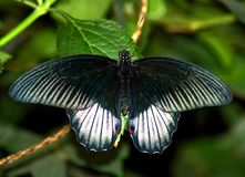 Farfalla nera Immagine Stock Libera da Diritti