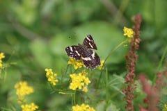 Farfalla nera Fotografia Stock