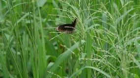 Farfalla nera con i punti a forma di freccia bianchi situati in Tailandia Fotografia Stock Libera da Diritti