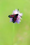 Farfalla nera con i punti rossi Fotografie Stock