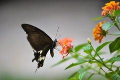 Farfalla nera con il fiore della lantana Fotografie Stock