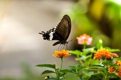 Farfalla nera con il fiore della lantana Fotografia Stock
