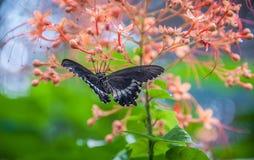 Farfalla nera con le ali spante Fotografia Stock