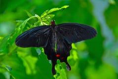 Farfalla nera della coda del sorso Fotografie Stock