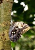 Farfalla nera di coda di rondine Fotografia Stock