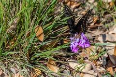 Farfalla nera di coda di rondine che riposa su Texas Wildflowers Fotografia Stock Libera da Diritti
