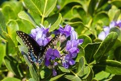 Farfalla nera di coda di rondine che riposa su Texas Wildflowers Fotografie Stock
