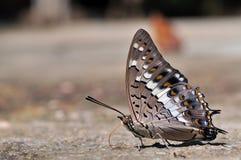 Farfalla nera di Rajah Fotografia Stock Libera da Diritti