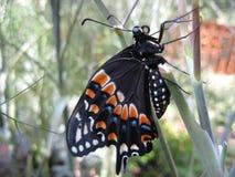 Farfalla nera di Swallowtail Fotografia Stock Libera da Diritti