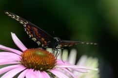 Farfalla nera di Swallowtail Immagini Stock