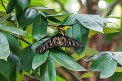 Farfalla nera e gialla Fotografia Stock Libera da Diritti