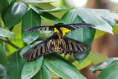 Farfalla nera e gialla Immagine Stock Libera da Diritti