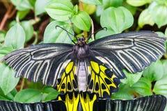Farfalla nera e gialla Immagini Stock