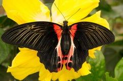 Farfalla nera e rossa su un fiore giallo immagini stock libere da diritti