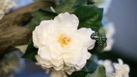 Farfalla nera e verde sul fiore video d archivio