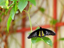 Farfalla nera & gialla di Birdwing Immagine Stock