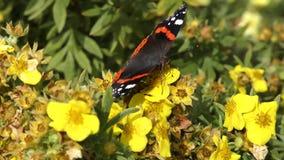 Farfalla nera sui fiori gialli stock footage