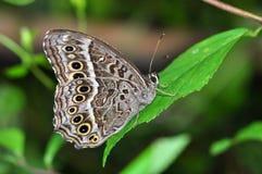 farfalla Nero-macchiata del labirinto Immagini Stock