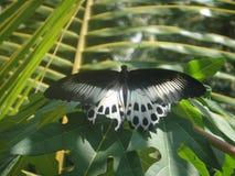 Farfalla nociva nei precedenti frondosi Fotografie Stock Libere da Diritti