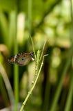 Farfalla normale della tigre Fotografie Stock