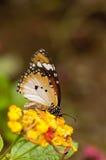 Farfalla normale della tigre Immagini Stock Libere da Diritti