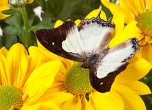 Farfalla normale di Nawab Fotografia Stock Libera da Diritti