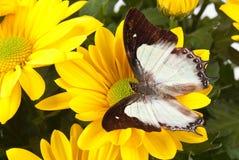 Farfalla normale di Nawab Fotografia Stock