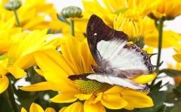Farfalla normale di Nawab Fotografie Stock