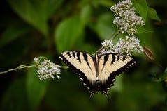 Farfalla orientale gialla di coda di rondine Fotografia Stock Libera da Diritti