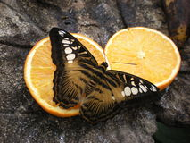 Farfalla Papillon arancio Farfalla Arancia Fotografie Stock Libere da Diritti