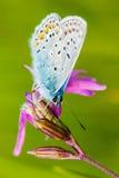 Farfalla pelosa Fotografia Stock Libera da Diritti