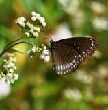 Farfalla per fondo Immagine Stock