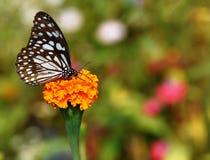 Farfalla piacevole Immagine Stock Libera da Diritti