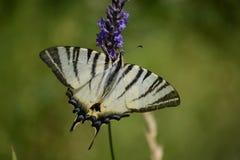 Farfalla - podalirius di Iphiclides - alto vicino Fotografia Stock Libera da Diritti