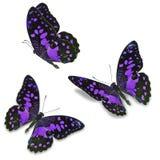 Farfalla porpora fotografie stock libere da diritti