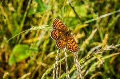 Farfalla possed in foglia dell'erba Fotografia Stock Libera da Diritti