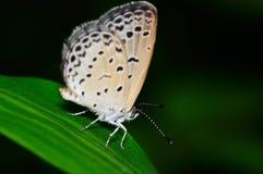 Farfalla (Pseudozizeeria Maha) Fotografia Stock Libera da Diritti