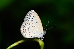 Farfalla (Pseudozizeeria Maha) Immagine Stock Libera da Diritti