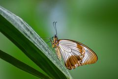 Farfalla pura ed elegante fotografie stock