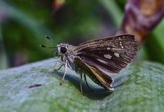 Farfalla rapida Immagine Stock