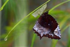 Farfalla recentemente emergente della mosca della palma Fotografia Stock