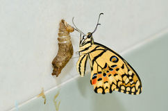 Farfalla recentemente trasformata Immagine Stock Libera da Diritti