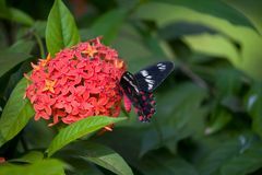 Farfalla: Rosa cremisi in un giardino di Goa, Mobor, stato di Goa, India. Fotografie Stock